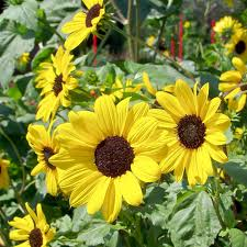 sunflower organic seeds small yellow flower