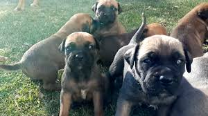 Bullmastiff Growth Chart Bullmastiff Growth Visual Progress And Changessargethrust