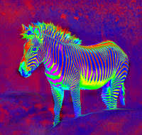 rainbow neon zebra backgrounds. Delighful Neon NEON ZEBRA LARGE In Rainbow Neon Zebra Backgrounds P
