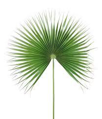 Palme Feuille De Palmier Camerus Diam Tre 100cm Palmier