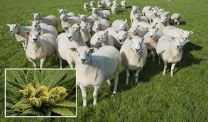 sheep drugs ile ilgili görsel sonucu