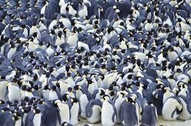emperor penguin huddle. Modren Huddle Photo By Kelvin Cope Emperor Penguins  For Penguin Huddle O
