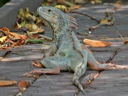 green iguana key west botanical garden 19 apr 13 1 l jpg