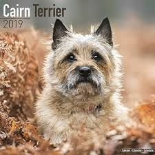cairn terrier. Brilliant Terrier Cairn Terrier Calendar  Dog Breed Calendars 2018 2019 Wall  16 Month With