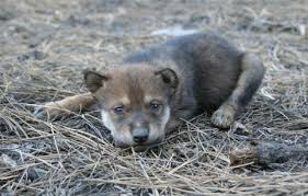newborn gray wolf pups. Perfect Wolf Please Take Action Today To Save Mexican Wolves On Newborn Gray Wolf Pups