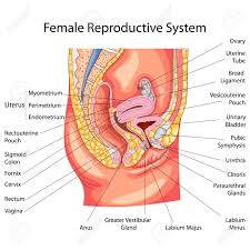 Female Reproductive Chart Image Of Female Reproductive System Diagram Image Of