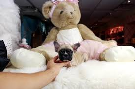 akc micro size french bulldog puppies available winston m