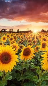 Iphone Wallpaper Sunflower Field