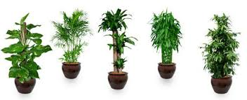 Office feng shui plants Jade Rubber Plant With Round Leaves Or Jade Plant Is Good For The Front Hall The Leaves Are Round So Can Enhance Good Chi Jade Is Also Called The Money Gopromotional Feng Shui Says this Plant At Right Place Is Key To Brings Good