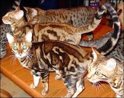 marble bengal cat. Interesting Bengal Marble Bengal Cats U2013 3D Or Embossed In Cat A