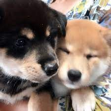 子犬 譲り ます 無料 京都