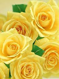 Yellow Roses Wallpapers on WallpaperDog
