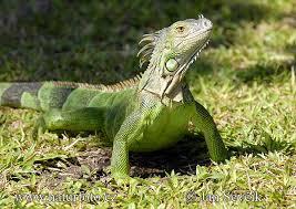 Resultado de imagen de foto iguana