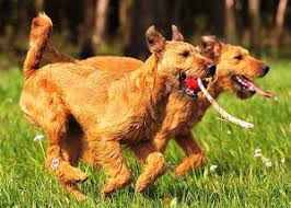 About Dog Irish Terrier