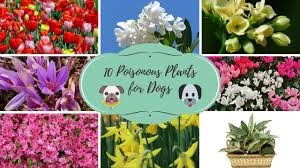 top 10 poisonous plants for dogs