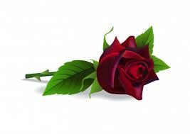beautiful red rose flower botany