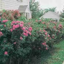 rosa rugosa rose