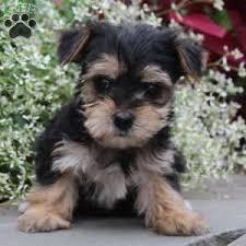 debbie 1050 00 selinsgrove pa morkie yorktese puppy