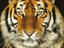 tiger face wallpaper hd. Wonderful Wallpaper Tiger Face Wallpaper Wallpaper Wallpaper Hd Wallpaper  Inside Hd 1
