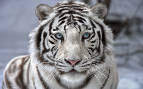 white tiger wallpaper free download. Wonderful Download White Tiger Wallpaper Is Available For Free Download  View Full Size  On Wallpaper Free Download 0