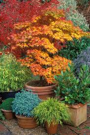Small Picture Japanese Maples How to Plant Care and Prune Garden Design