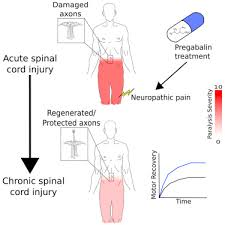 Spinal Cord Injury Chart Early Administration Of Gabapentinoids Improves Motor