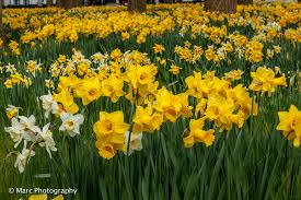 once you walk through the gate you are submerged in a pool of fresh shades of yellow because this is when the thousands of daffodils are blooming