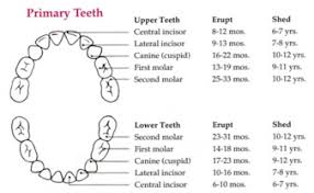 Permanent Teeth Eruption Chart Tooth Eruption Paramus Nj Kreiner Dental
