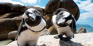 Image result for penguin beach in cape town