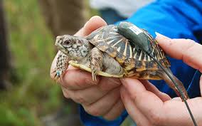 box turtle size ornate box turtle population recovery in illinois lincoln park zoo