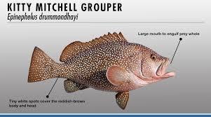 Grouper Species Chart Grouper Identifier Fishtrack Com