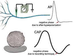 background biphasic extracellular recording the negative phase of the intracellular action potential is attributed to the mechanism of after hyperpolarization the negative phase of the cap is due to