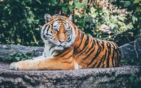 zoo tiger 4k