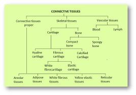 Biology Animal Tissues Askiitians