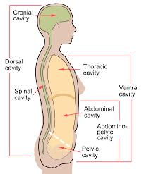 Go to the latest version. Body Cavity Wikipedia
