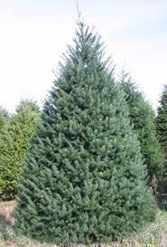 Common Christmas Tree Types  Christmas Lights DecorationTypes Of Fir Christmas Trees