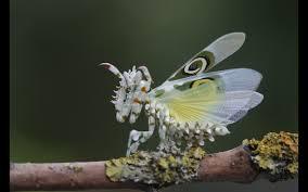 Afrikanische Blütenmantis - Gottesanbeterin Forum: Tipps zu Haltung, Arten  und Terrarium