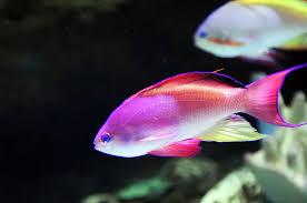 paul van allen photo of a pink fish in an aquarium