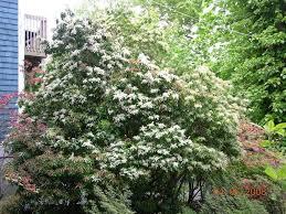 Large scale evergreen shrubs: Pieris 'Scarlet O'Hara', Pieris x 'Karanoma',  and Pieris 'Summer Hill'