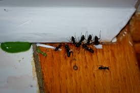 full size of kitchen kill ants in house little black ants in kitchen and bathroom kill