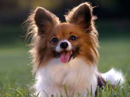 51 Best Chihuahua Images On Pinterest Chihuahuas Chihuahua Love