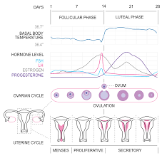 Female Menstrual Cycle Flow Chart Menstrual Cycle Simple English Wikipedia The Free