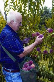 Pawpaws Americau0027s Best Secret Fruit  Serious EatsFruit Trees In Kansas