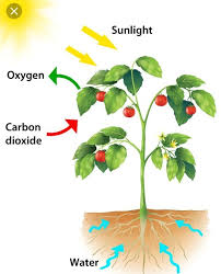 Plant Chart Web Chart Of Plants Photosynthesis Brainly In