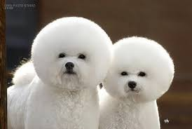 these pups are cute but was perfecting their mane like this absolutely necessary could you imagine having your hair fluffed up like this