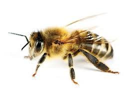 Résultats de recherche d'images pour «abeille photo»