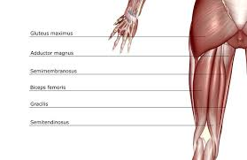 Upper Leg Muscle Chart Anatomy Of The Hamstring Muscles