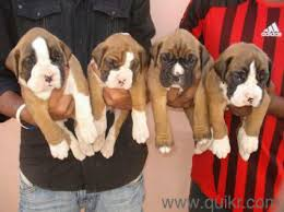 extraordinary boxer puppies for