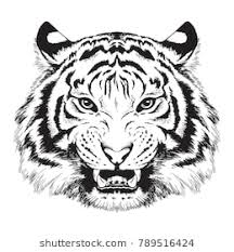 tiger face growling drawing. Unique Drawing Black And White Vector Sketch Of A Growling Tigeru0027s Face Inside Tiger Face Growling Drawing R