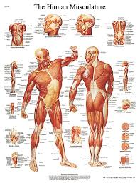 Anatomy Chart Muscular System Anatomical Chart Muscular System